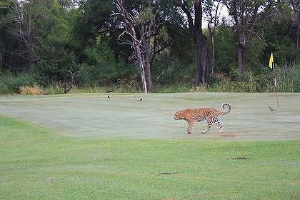 Leopard auf dem Golfplatz in Südafrika